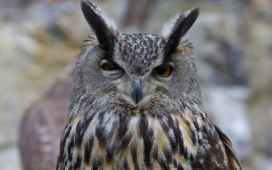 Photo free owl, eagle owl, ears