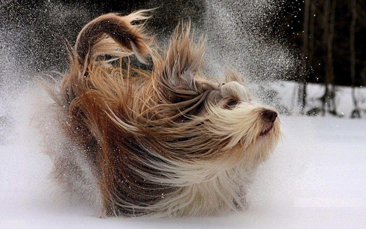 Фото бесплатно собака, зима, снег, пушистая, собаки, собаки