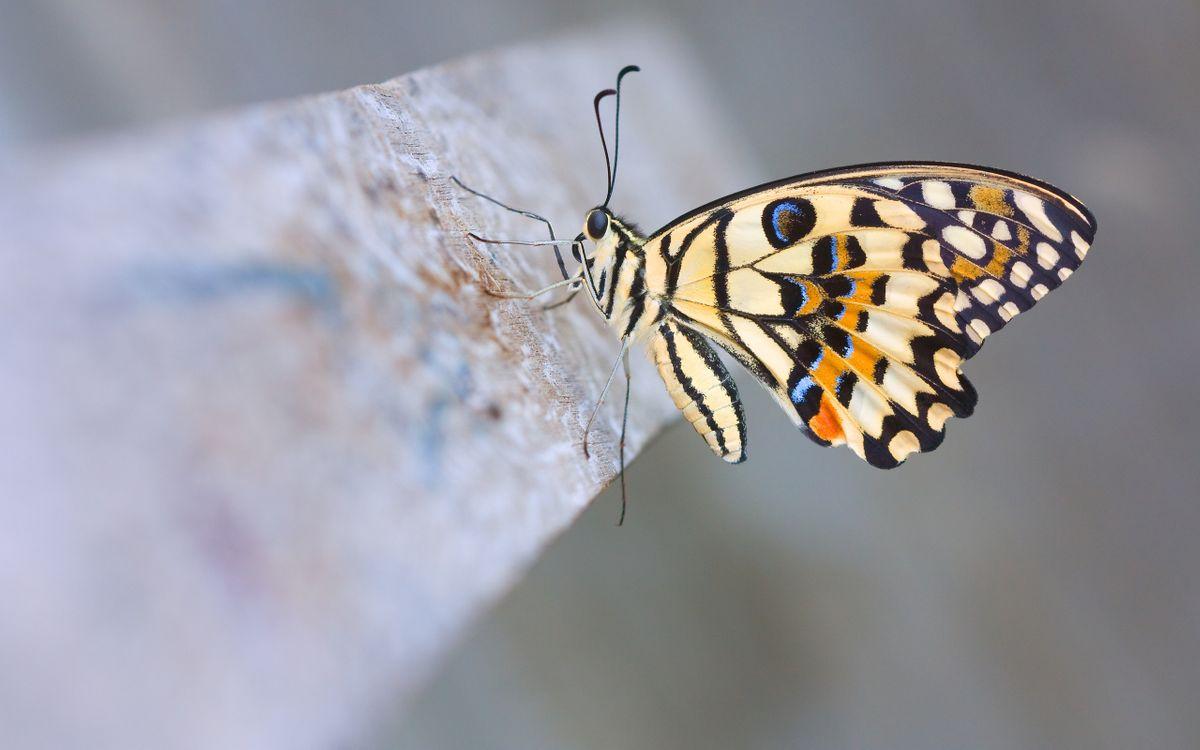 Обои бабочка, крылья, усики, лапки, узор, рисунки, цвета, насекомые на телефон   картинки насекомые - скачать