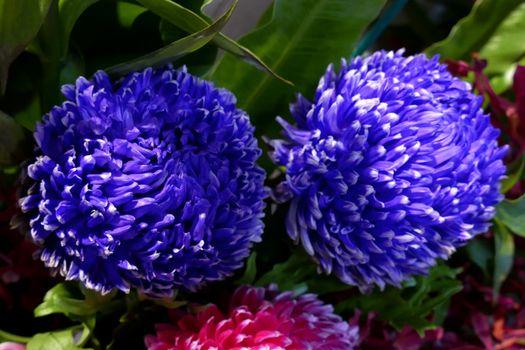 Photo free Chrysanthemums, chrysanthemums, flowers