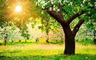 Обои деревья, яблочные, цветут, лето, трава, поле, солнце, природа