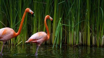 Бесплатные фото фламинго,лапы,перья,клювы,водоем,растительность,птицы