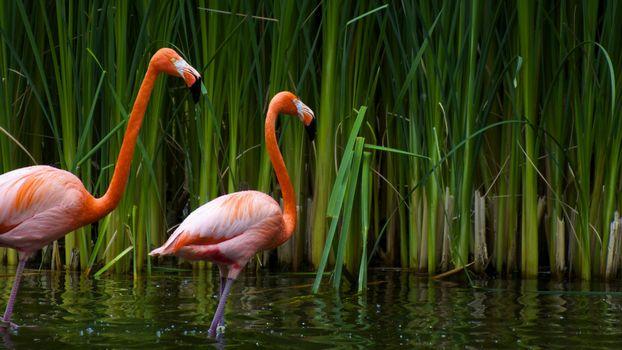 Заставки фламинго, лапы, перья