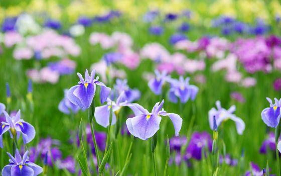 Бесплатные фото ирисы,клумба,растения,лепестки,листья,стебли,лето,тепло,цветы