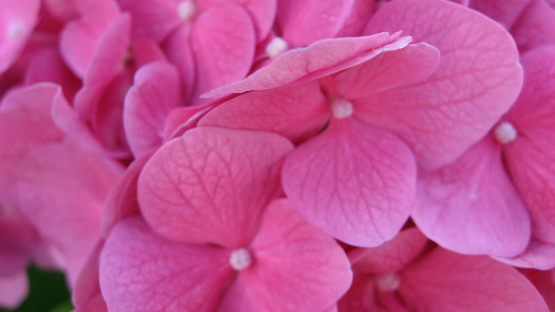 красивые, розовые, лепестки