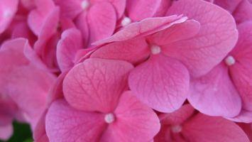 Обои красивые, розовые, лепестки, много, ярко, необычно, цветы