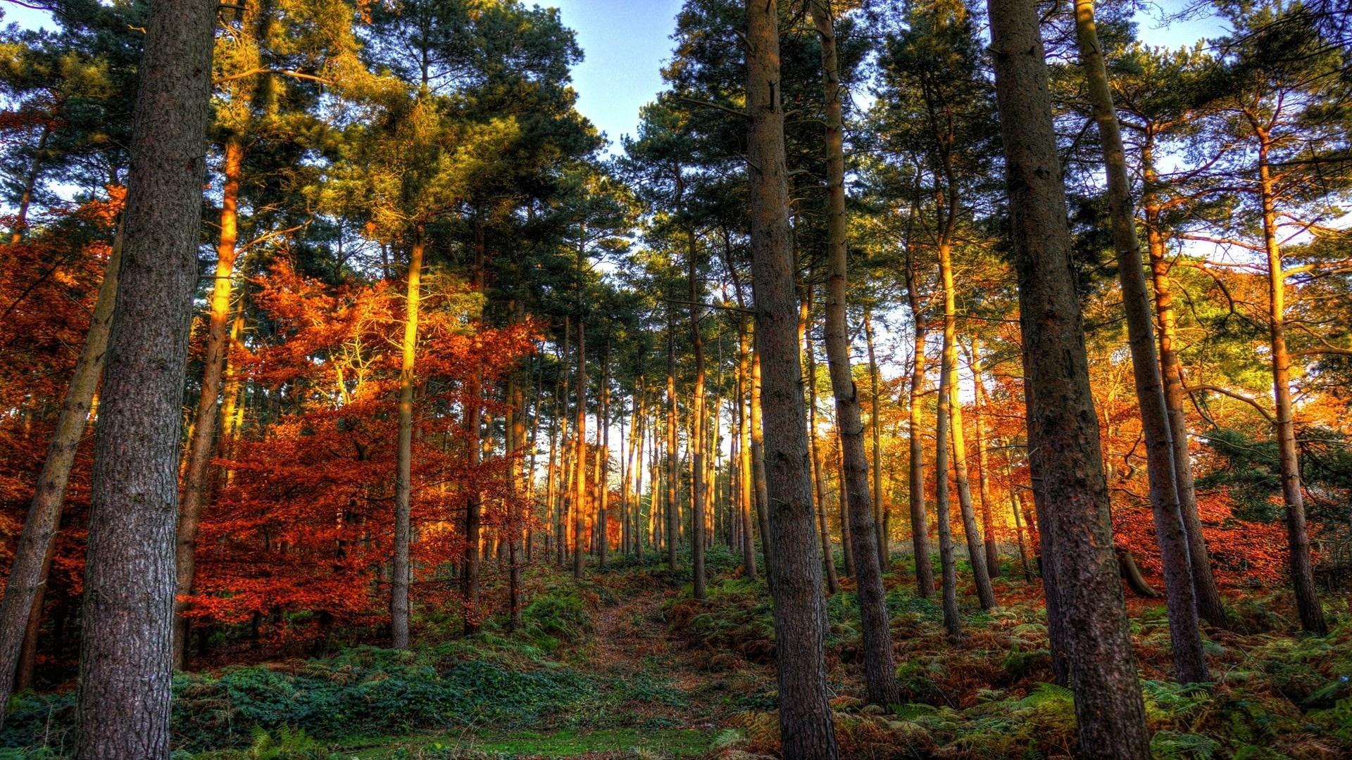 Обои лес, восход, солнце, сосны