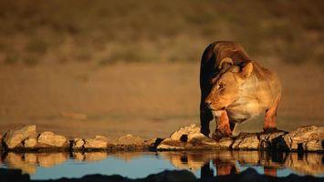 Фото бесплатно львица, вода, ручей