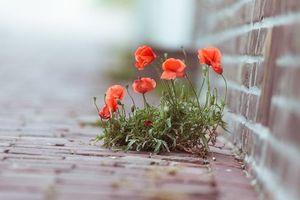 Фото бесплатно маки, цветки, бутоны