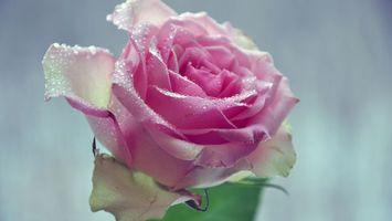 Фото бесплатно роза, вода, капли