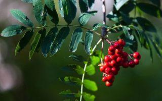 Фото бесплатно рябина, ветка, ягоды
