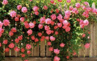 Фото бесплатно забор, розы, розовые