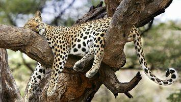 Бесплатные фото леопард, отдыхает, спит, на дереве, на ветке, кошки