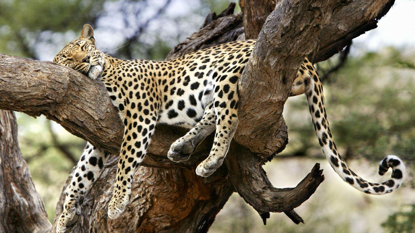 Фото бесплатно леопард, отдыхает, спит, на дереве, на ветке, кошки, кошки