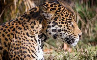 Фото бесплатно леопард, пятна, мора