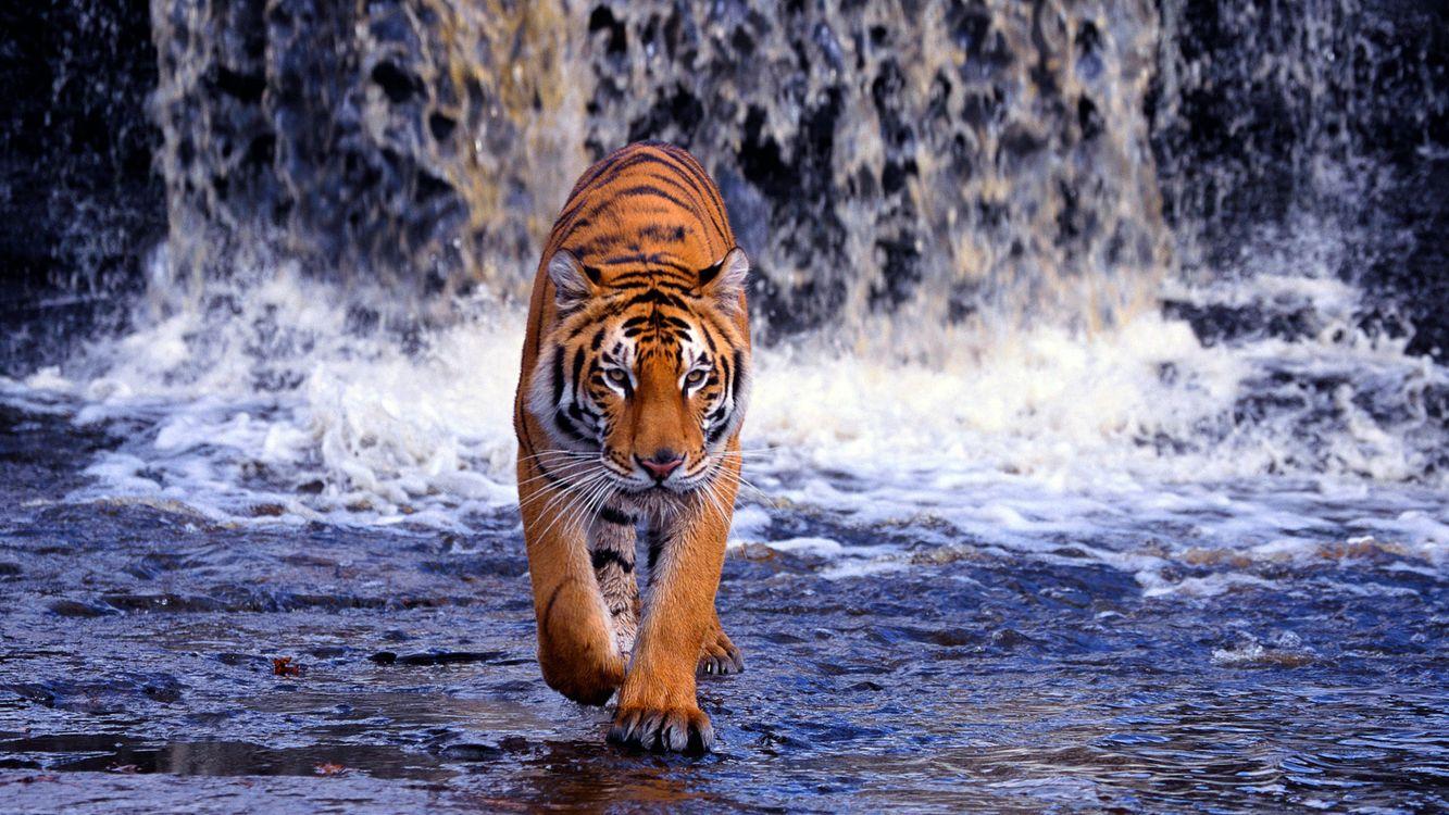 Фото бесплатно животное, хищник, зверь, водопад, вода, животные, животные
