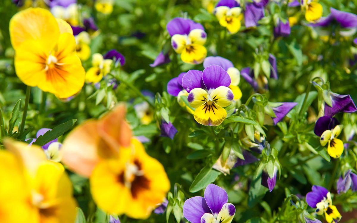 Фото бесплатно клумба, анютины глазки, лепестки, разноцветные, листья, зеленые, цветы