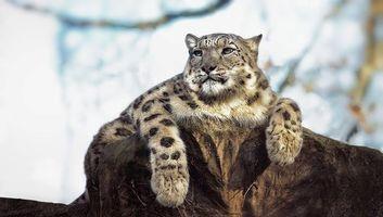 Бесплатные фото леопард, поза, взгляд, камень, животные
