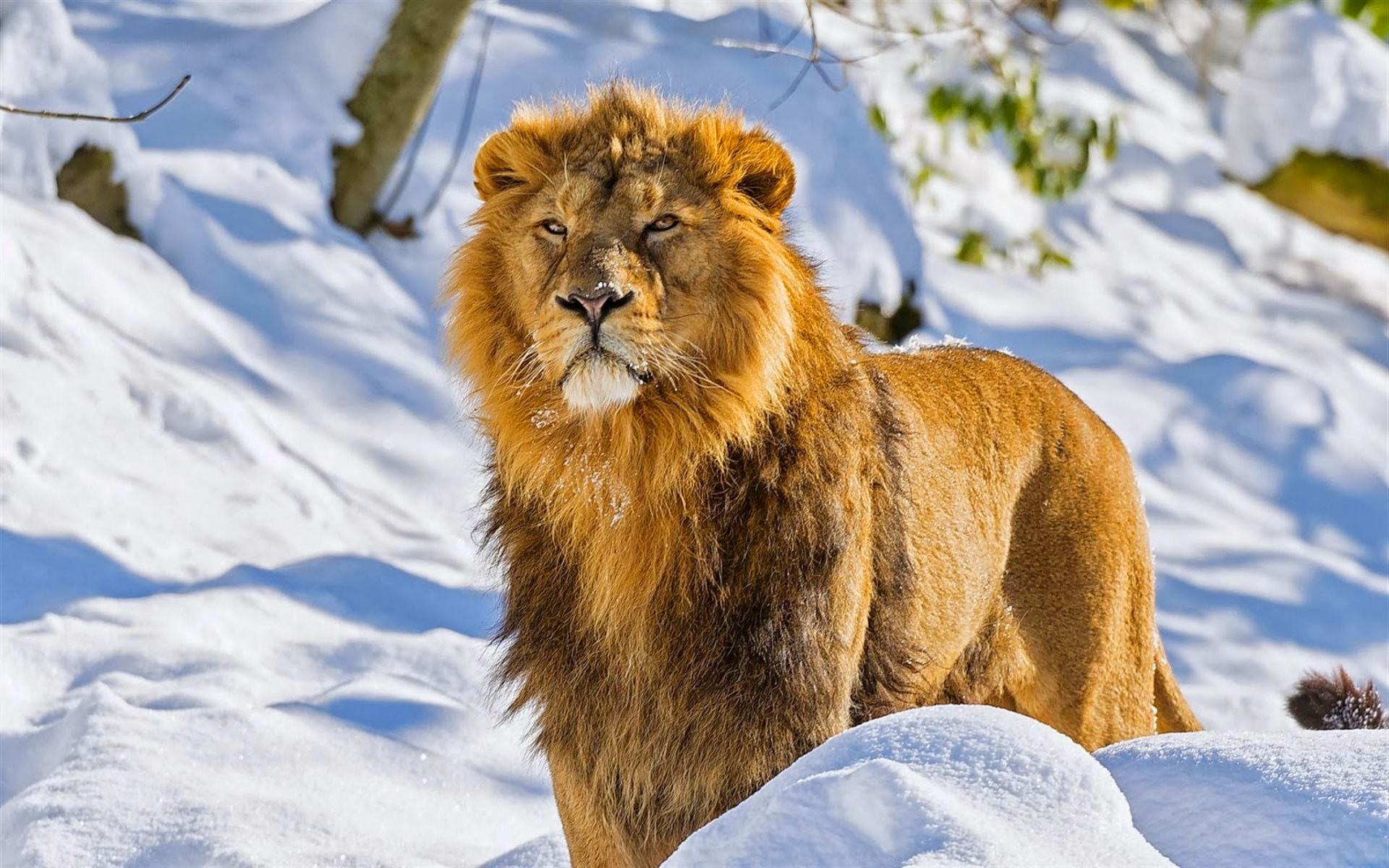 Картинки фото лев зима снег холодно