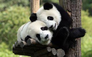 Обои панды, бамбуковые, медведи, морды, шерсть, дерево, животные