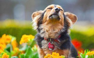 Бесплатные фото пес,морда,шерсть,ошейник,медальон,надпись,цветы