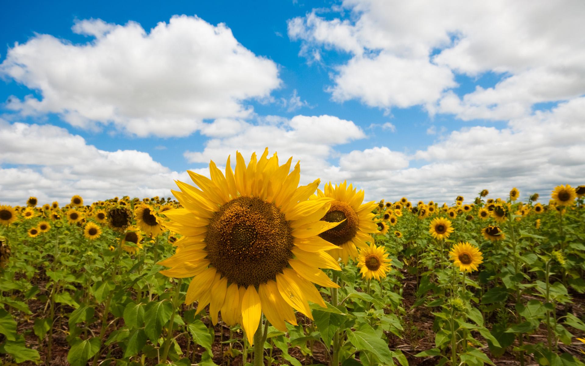 поле, подсолнухи, желтые