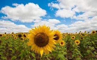 Бесплатные фото поле,подсолнухи,желтые,лепестки,стебли,листья,зеленые
