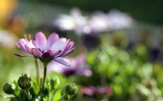 Бесплатные фото цветок, ромашка, лепестки, фиолетовый, бутоны, клумба, поляна