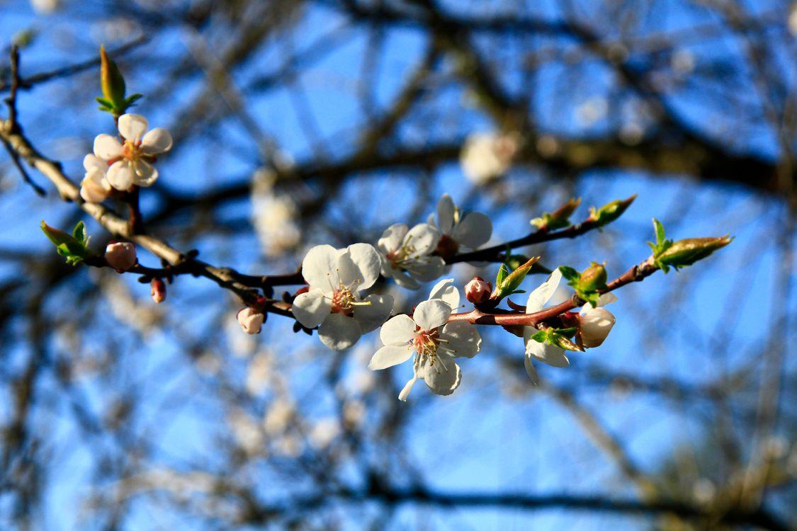 Фото бесплатно вишня, сакура, небо - на рабочий стол