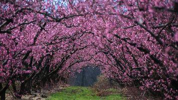 Заставки вишня,цветет,ветки,сад,трава,весна,природа