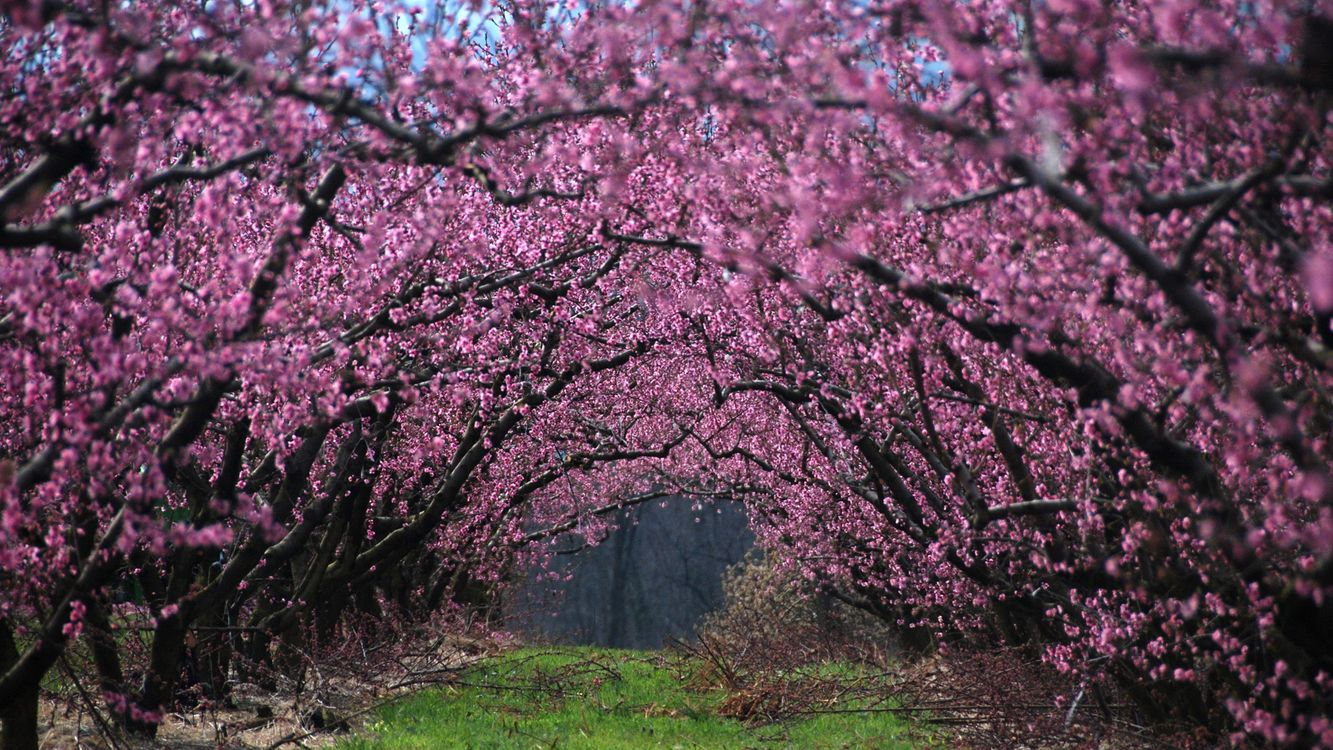 Фото бесплатно вишня, цветет, ветки, сад, трава, весна, природа, природа