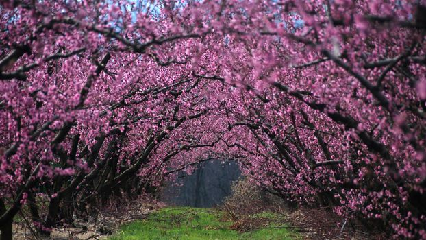 Photo free cherry, blooms, branches