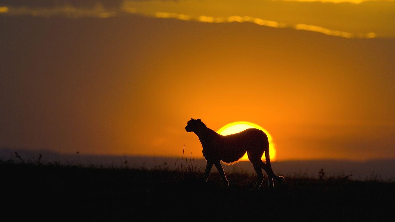 Фото бесплатно гепард, закат, солнца, африка, кошки, пейзажи, пейзажи