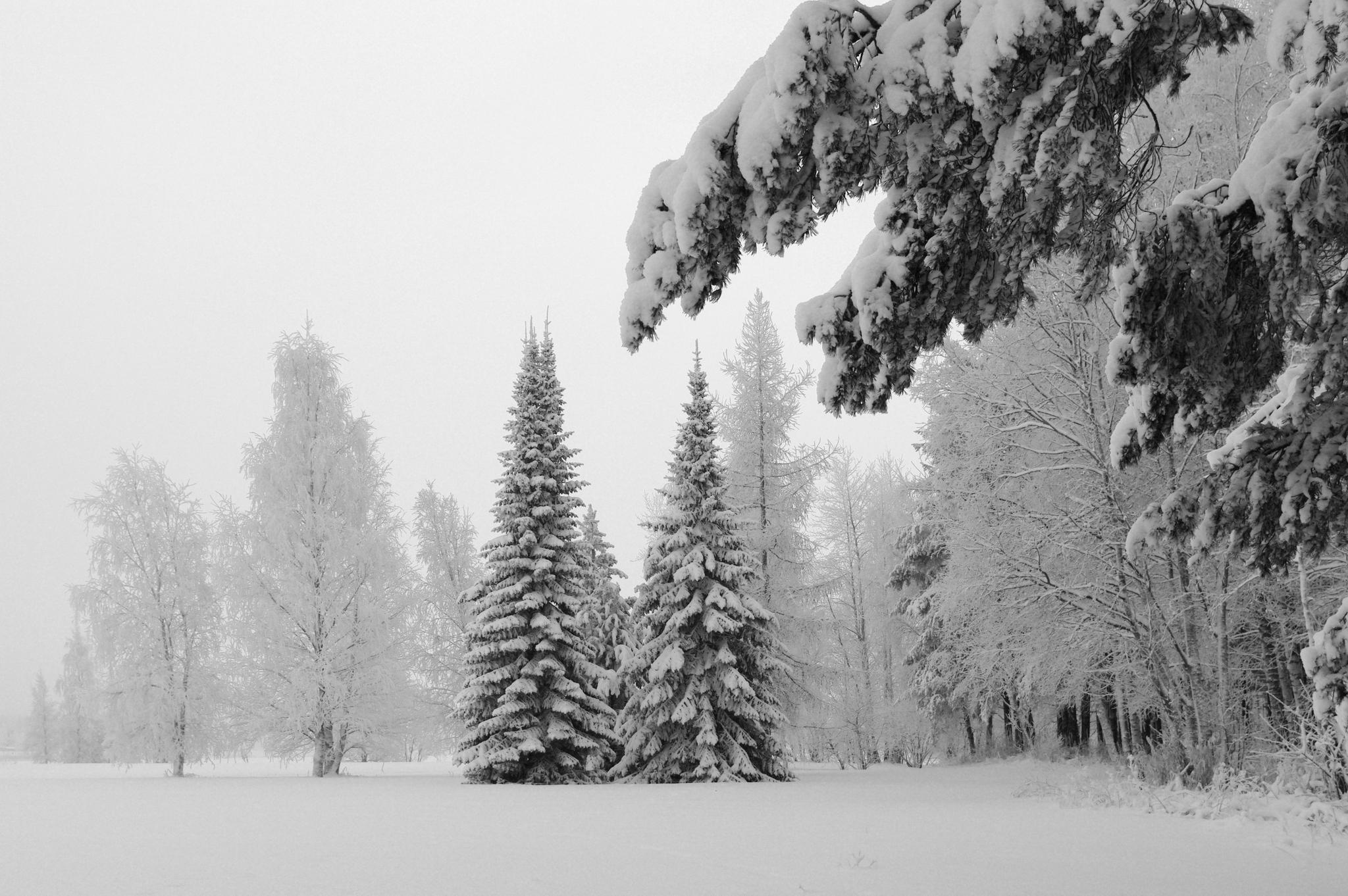 Зимний лес елки лиственница зима