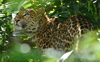 Заставки леопард, джунгли, папоротник