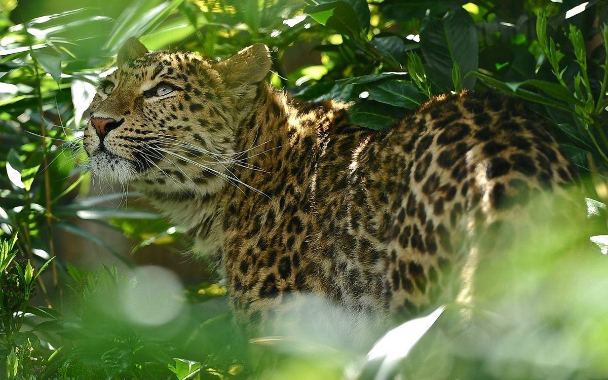 Фото бесплатно леопард, джунгли, папоротник - на рабочий стол