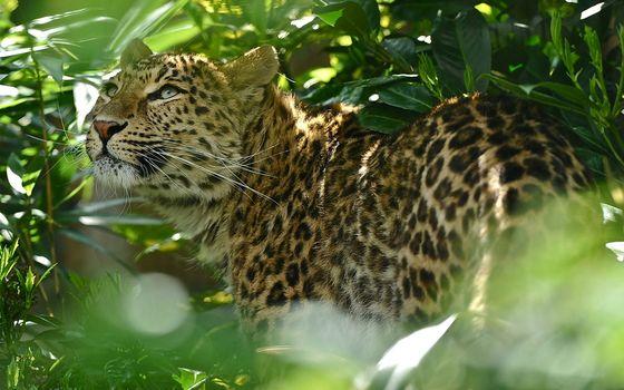 Бесплатные фото леопард,джунгли,папоротник,взгляд,пятна,кошки,природа