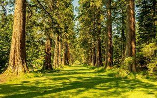 Заставки лес,лето,утро,лучи,солнца,деревья,сосны