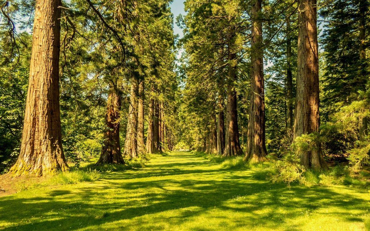 Фото бесплатно лес, лето, утро, лучи, солнца, деревья, сосны, трава, парк, природа, природа