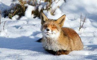 Фото бесплатно лиса, мех, рыжая