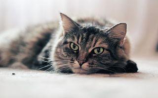 Фото бесплатно уши, кошка, волосы