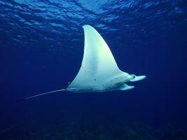 Бесплатные фото океан,рыба,скат,хвост,жабры,плавники,подводный мир