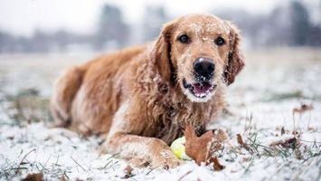 Фото бесплатно пес, рыжий, снег