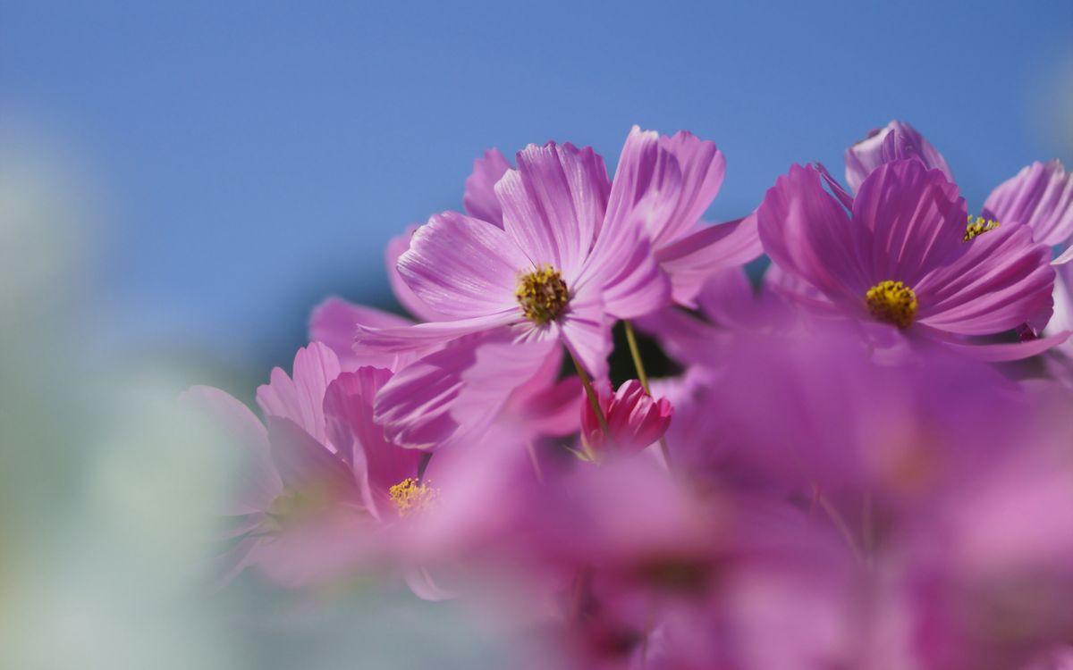 Фото бесплатно ромашки, розовые, лепестки, листья, клумба, букет, лето, небо, тепло, цветы, цветы