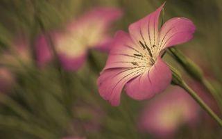 Фото бесплатно розовый, лепестки, пестики