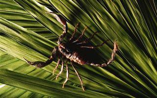 Обои скорпион, жало, лапки, щупальца, клешни, волосики, глаза, хвост, панцирь, лист, зеленый, насекомые