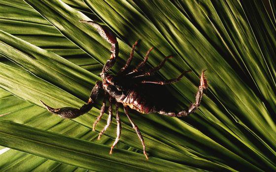 Фото бесплатно скорпион, жало, лапки