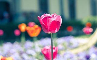 Фото бесплатно тюльпан, стебель, лепестки