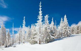 Фото бесплатно зимний лес, елки, в снегу