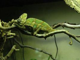 Фото бесплатно хамелеон, ящірка, зелена